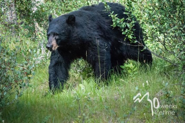 Bear in Banff National Park.